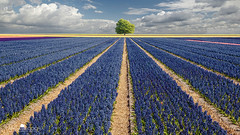 Hyacinths & Tree photo by larsvandegoor.com
