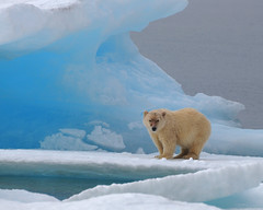 Polar Bear, Resolute Bay photo by Ballygrant Boy