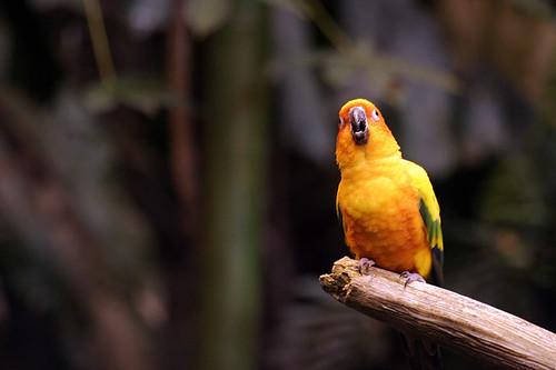 Perroquet / Parrot
