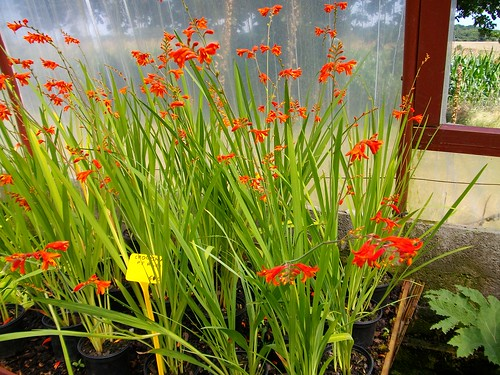 Crocosmia Fire King