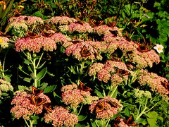 Butterflies Galore on Sedum photo by Theresa_Gunn