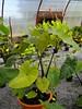 Colocasia Fontanaisy