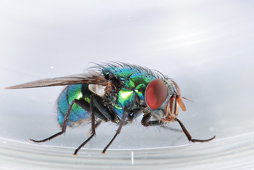 Mouche / Fly