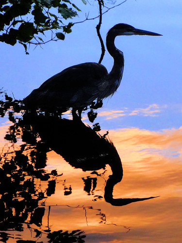 Heron at the Magic Hour photo by brooksbos
