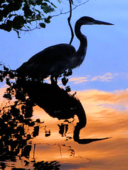 Heron at the Magic Hour photo by brooksbos ~ off and on