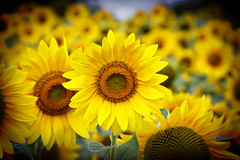 Sunflowers Make Me Happy... photo by IslandPhotoBug~Cori Conz