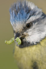 blue tit 12 photo by Lee Crabtree photography