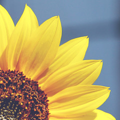 sunflower [Explored OMGOSH my first one :D] photo by Shandi-lee