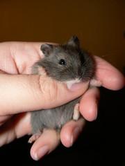 Dwarf Hamster Babies 1