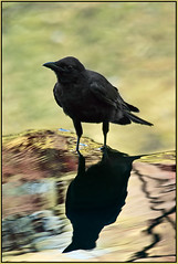 Crow's Lore in Reflection photo by TT_MAC