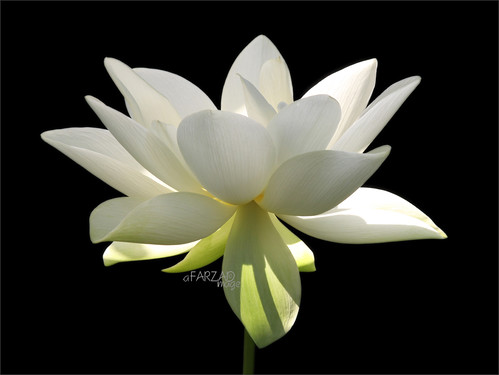 "Flower / White flower / sun / nature / White ""Lotus Flower in the Early Morning Sun""  / green / - IMG_2956 photo by Bahman Farzad"