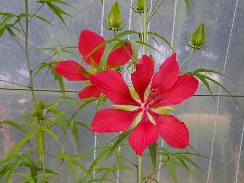 Hibiscus Cocineum