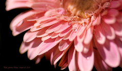 Pink Gerbera Daisy photo by linlaw39