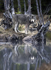 wolf reflection in yellowstone photo by Steve Courson