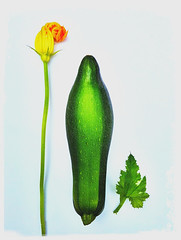 Courgette with flower and leaf. photo by Alain Porry