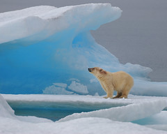 Polar Bear just outside of Resolute Bay, Nunavut. photo by Ballygrant Boy