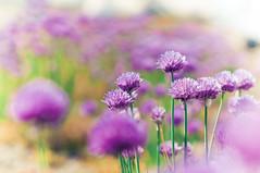 Purple Sea photo by christian.senger