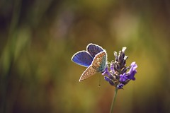 Common Blue Butterfly #4 photo by join the dots