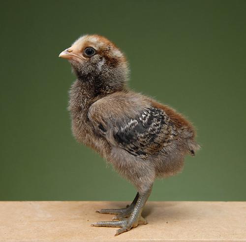 Chicks Day 11