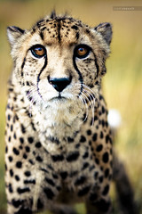 How the Cheetah Got Its Tears photo by Carl Stovell