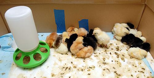 Sleeping chicks