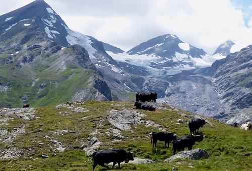 Glaciers and Cows