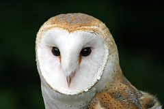 Barn Owl photo by smbrooks_2000