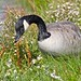 Canada Goose Smelling the Flowers