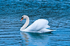 Swan photo by Sergiu Bacioiu