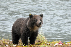 2010 Grizzly Bear Cub photo by DrLensCap