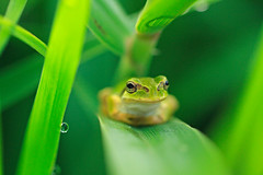 Tree frog photo by chibitomu