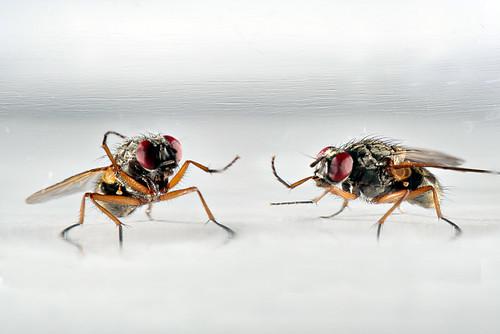 Mouches / Flies