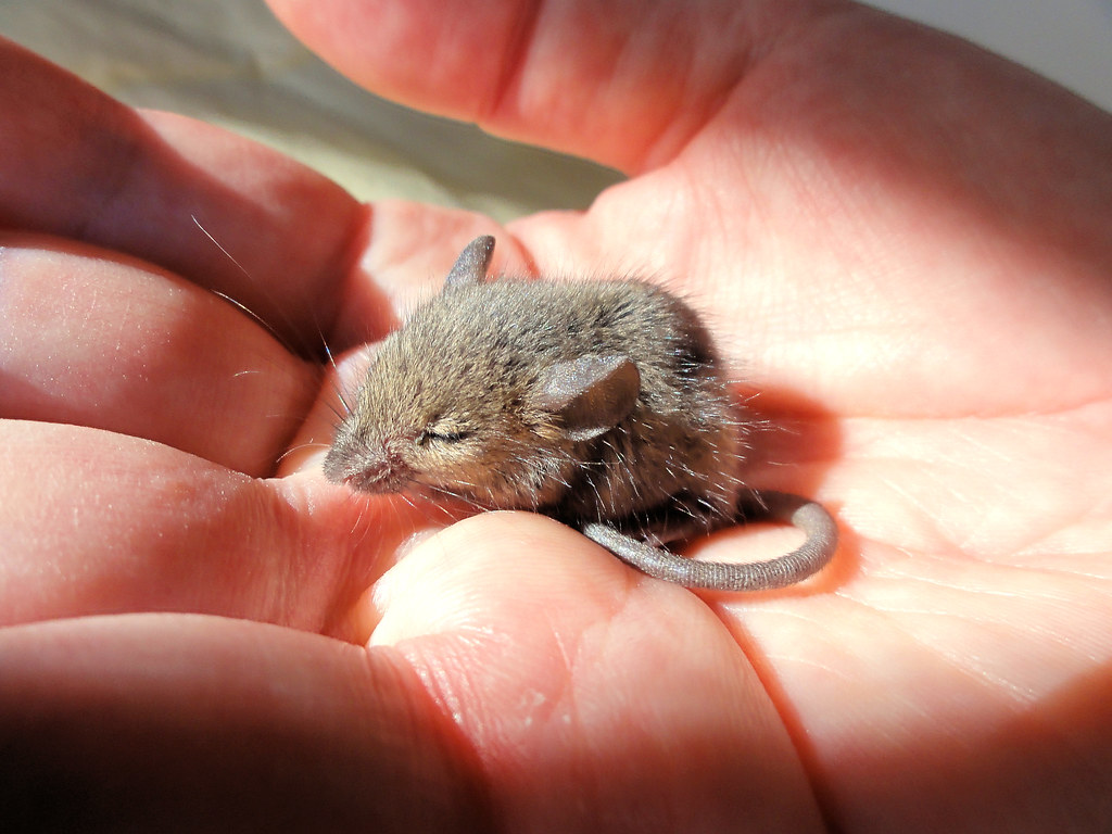 Lorenzo, a tiny field mouse photo by brooksbos