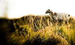 Sheep photo by slinkygenius