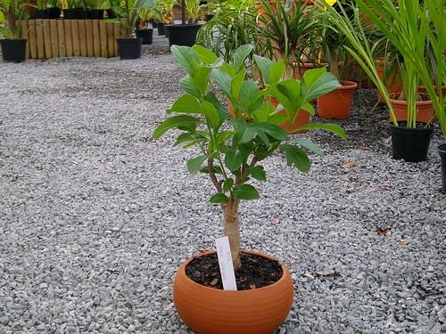 Baobab - 5 ans - 32 €