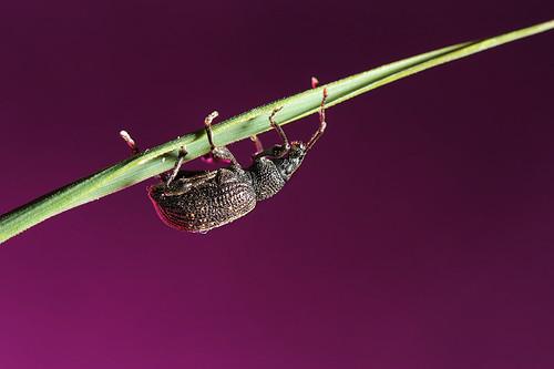 Scarabée / Beetle