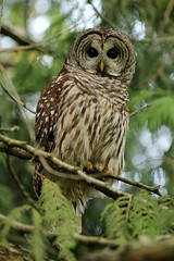 """Silent Barred Stalker"" Barred Owl Perched in Western Redcedar at Queen Elizabeth Park in Vancouver BC 25Sep2010 photo by frosty_white_raven"