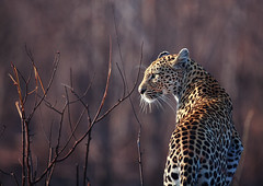 leopard photo by Malek Almousa