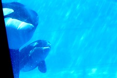 Killer Whale Calf 2010 photo by Seals4Reals
