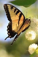 EASTERN TIGER SWALLOWTAIL BUTTERFLY (3 Shot Series) -- (Seen in EXPLORE) photo by canikon1998