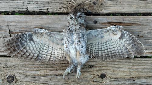 Eastern Screech Owl Road Kill