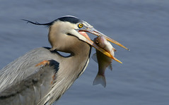 Great Blue Heron with White Perch (2)- Ardea herodias (Explored) photo by MattSullivan