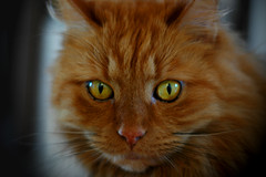 Oscar - the lion photo by LeneG