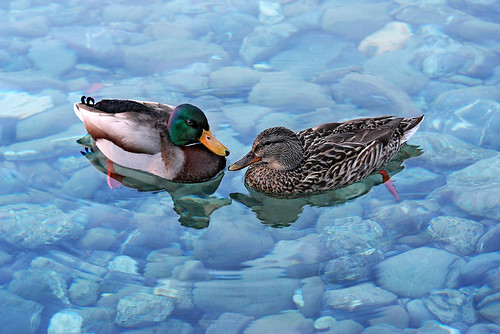 Canards / Ducks