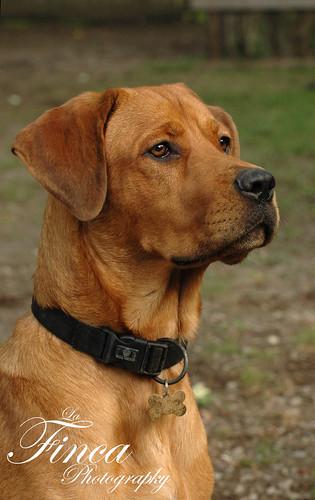 Photo: Rottweiler X Cane Corso 003 - Italian Mastiff | Lurvely