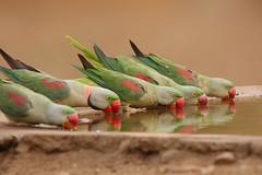 Alexandrine Parakeet 1 male & 4 female photo by sharadagrawal931978