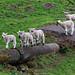 Parkour Lambs