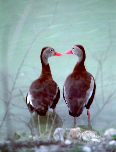two_ducks
