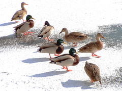 8 Ducks in a Row