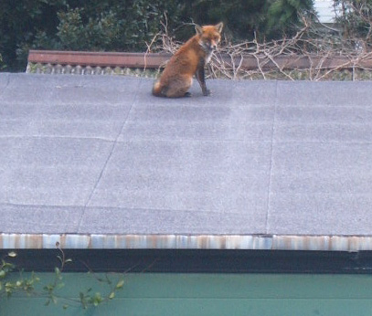 Fox on my Garage 1